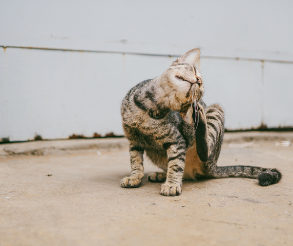 Image of cat itching ear