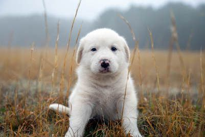 Image of White Puppy
