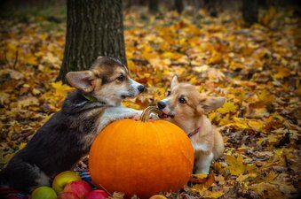 Image of dogs with pumpkins