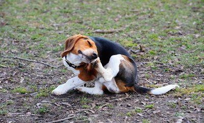 image of a dog itching its ear