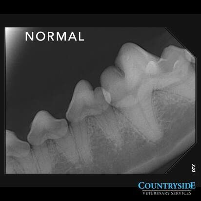 Normal x-ray of a dog's teeth