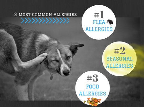Infographic about 3 most common allergies for small animals