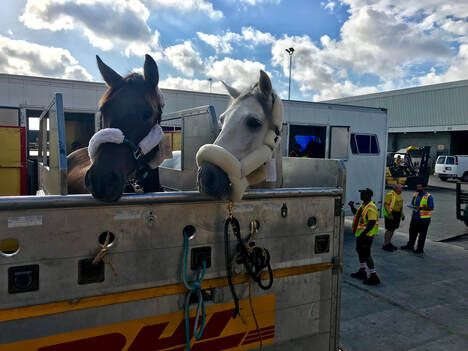 Image of Horses being transported by plane