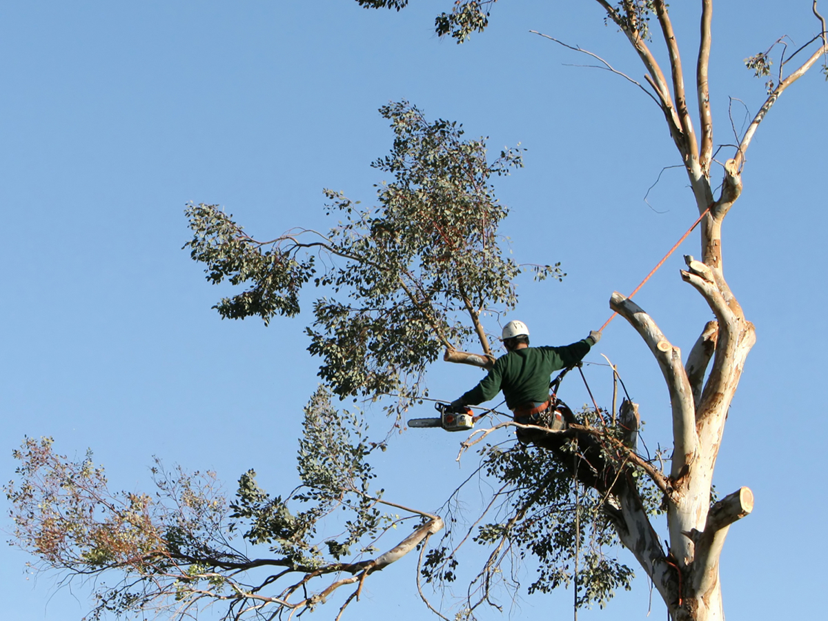 In a tree with a chainsaw for professional tree removal services.