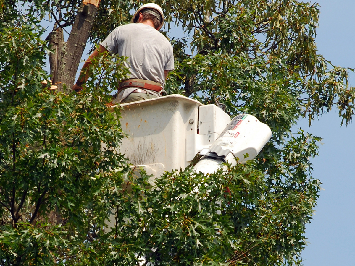 Cutting a tree for excess branch removal.