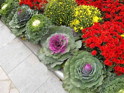 Mums-and-ornamental-cabbage.jpg