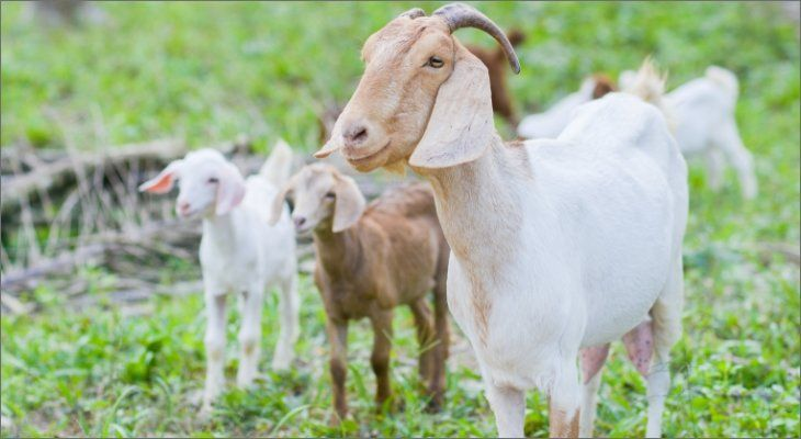 goats in the grass