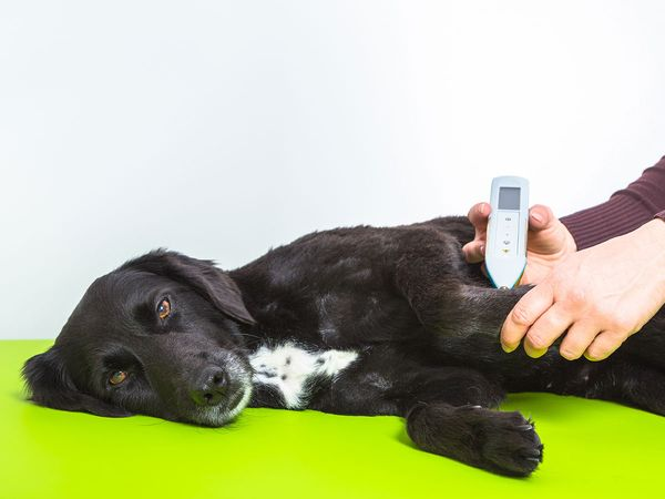 A dog receiving laser acupuncture
