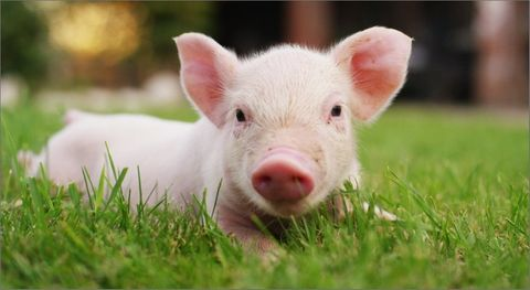 Image of a  piglet