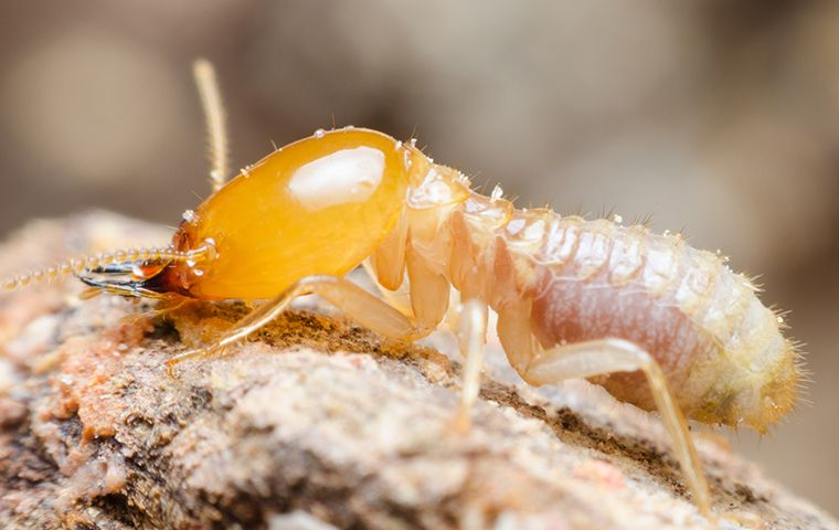 Single termite