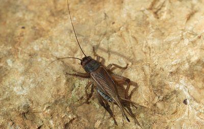 house-cricket.jpg