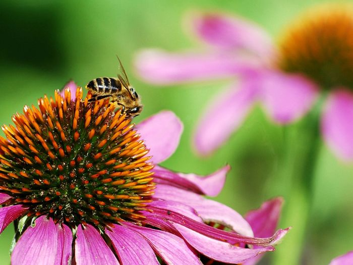 Echinacea flower with a bee on top.