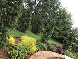 Pine trees and lawn.jpg
