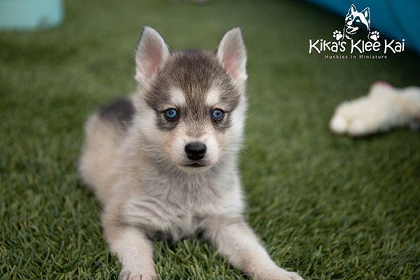 Kika's Klee Kai puppy on grass