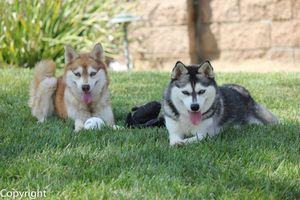 two Alaskan Klee Kai dogs lying beside each other in grass