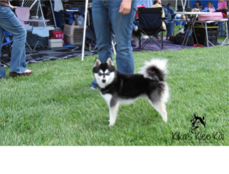 black and white Klee Kai from Kika's Klee Kai