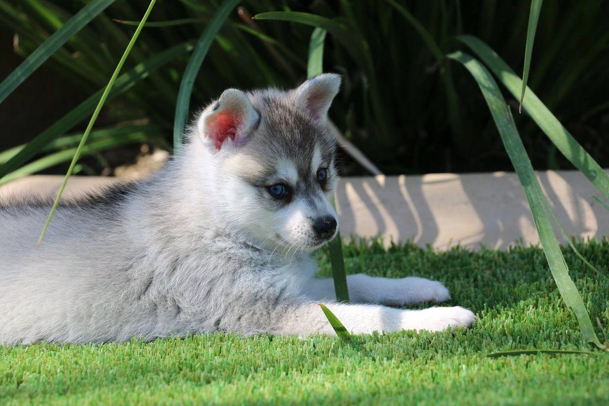 Klee Kai puppy from Kika's Klee Kai