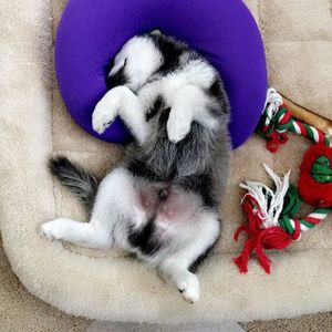 Klee Kai puppy sleeping