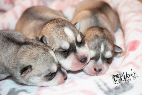 Gray and white Alaskan Klee Kai Puppies