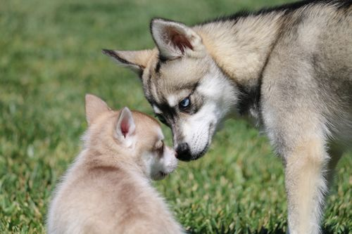klee kai dog and pup touching noses