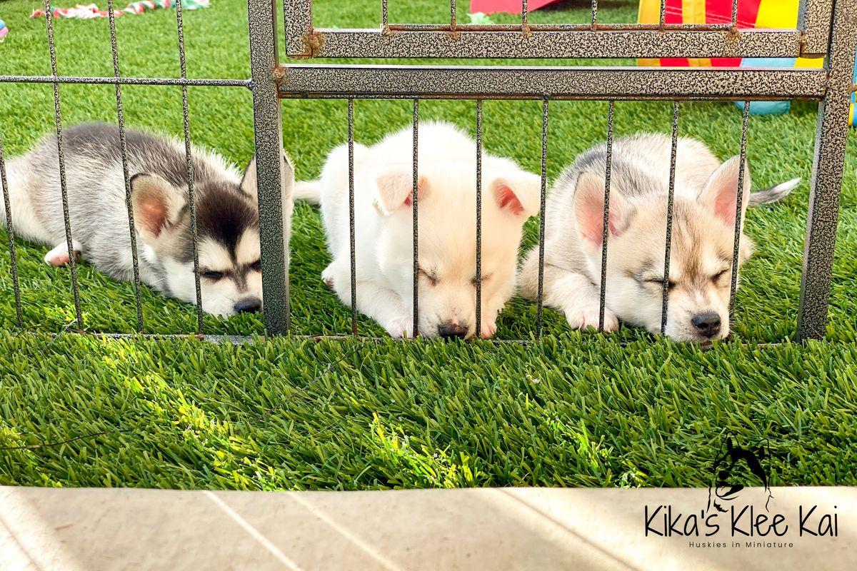 Three Alaskan Klee Kai Puppies