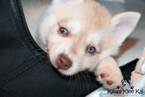 Alaskan Klee Kai puppy chewing on crate