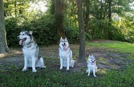 Malamute, Husky and Klee Kai
