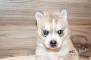 Gray and white blue eyed Klee Kai puppy