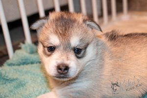 Alaskan Klee Kai Puppies