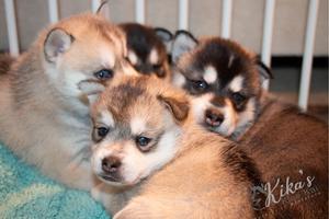 Alaskan Klee Kai Puppy Pile