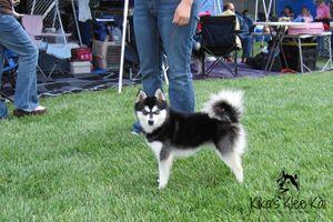 Black and White Alaskan Klee Kai