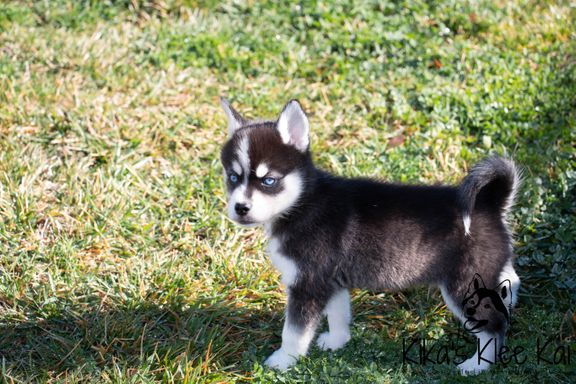 small black and white Klee Kai puppy