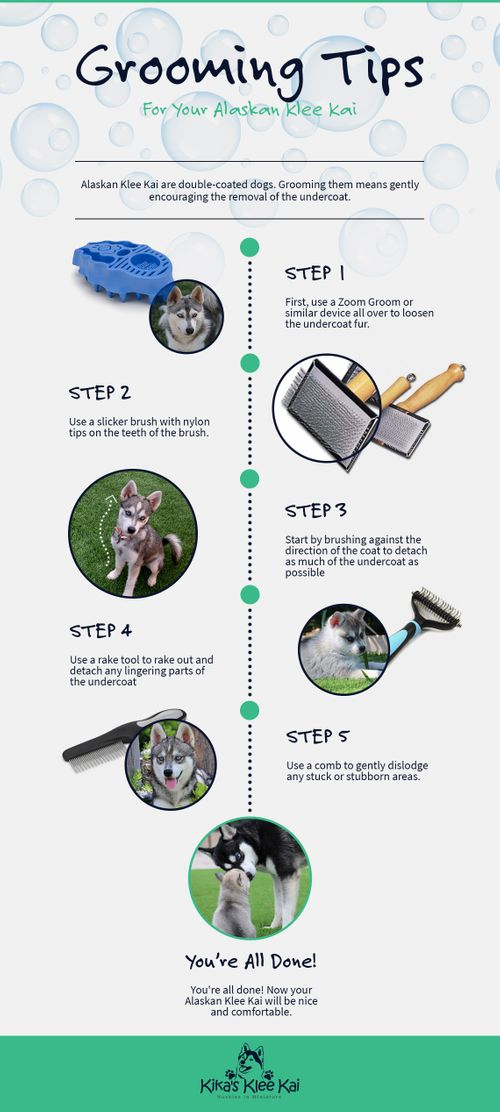 Grooming tips for your alaskan klee kai