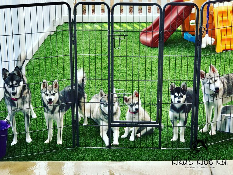 Alaskan Klee Kai sizes and colors