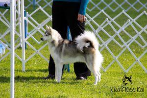 Gray and White Standard size Alaskan Klee Kai
