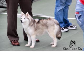 grey and white Klee Kai standing with people from Kika's Klee Kai