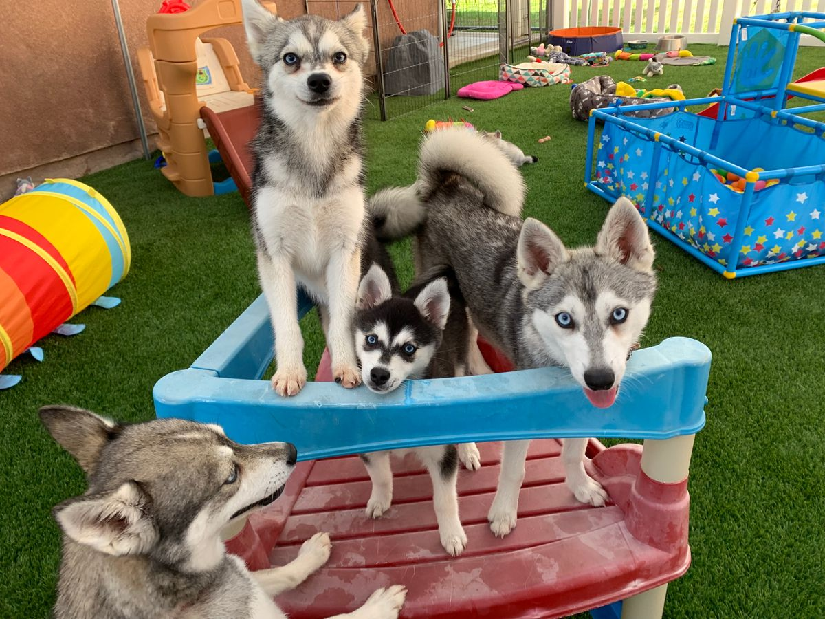 four Klee Kai dogs on playground toy